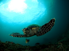 Hawksbill  Turtle (Eretmochelys imbricata) (Marcel Waldis Underwater Photography) Tags: turtle hawksbillturtle eretmochelysimbricata hawksbillturtleeretmochelysimbricata olympus olympusomdem5 omdem5 omd omd5 nauticam nauticamnaem5 8mm 8mmpanasonicfisheye panasonic panasonic8mmfisheye fish fourthirds fly fotos flying natur nature dome diving deep dynamic micro43 makro microfourthirds marcelwaldis mft micro underwaterphotography underwater underwatterfotography underwaterworld portraitphotography portrait 43x solaphoto1200 seaandsea110a sea seasea110a sailrockdiver seaandsea scubadiving thailand animal adventure andaman activity adamansea andamansea air water wideangle waterx wa phiphi photographyx photo phuket kohphiphi krabi kohbida island