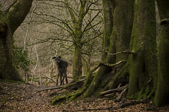 Herman (Helen @ Heart Of Glass) Tags: trees winter dog woodland nikon hill nikkor lurcher deerhound 55200 lewesdon nikond000