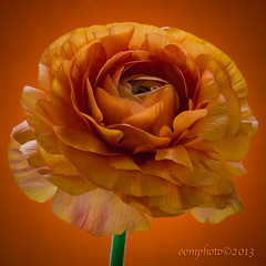 Have a lovely day! (oomphoto) Tags: orange flower macro petals ranunculus delicate vignette persianbuttercup paperthin paperthinpetals bestevercompetitiongroup flowerthequietbeauty dsc80844 brilliantcolouredflower