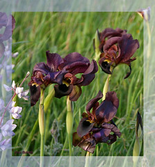 More Irises... (Nira Dabush) Tags: iris field photography photo artist photographer fineart      floralflowers textiledesigner    berkovitz  niradabush  designerisrael irisatropurpureanature