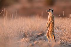 First Meerkat Pic! ([[BIOSPHERE]]) Tags: africa standing mammal meerkat sand desert small kalahari goldenhour guarding suricate meerkats