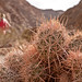Mosaic Canyon Cactus