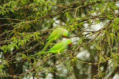 Happy Family (Souvik Palmal) Tags: nature birds nationalpark parrot birdwatching birdnest birdphotography 60d nationalzoologicalparkdelhi