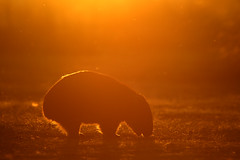 Wombat (Callocephalon Photography) Tags: