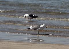 Caspian Gull and Heuglin's Gull IMG_3205 (grebberg) Tags: bird beach gull oman fugl muscat larus mke caspiangull laruscachinnans qurum heuglinsgull larusheuglini kaspimke samojedmke