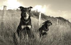 Jour de vent (LayaWood) Tags: vent dunes plage chiens beaucerons