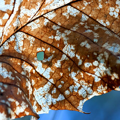 A leaf with a view (Rich3591) Tags: blue brown white window dead leaf view hole hampshire curly squareformat veins speckled forestofbere challengeyouwinner creechwoods cyunanimous