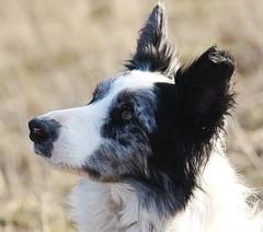 Ash (Chrissie28IWish! ~ hubby passed away 5th Dec peace) Tags: blue portrait dog pets white black eye grass closeup mouth fur nose grey collie bokeh ears merle