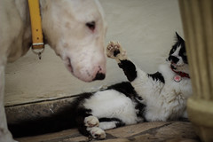 (Inventor de Abismos) Tags: dog co cat gato cachorro bullterrier