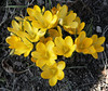 SPRING YELLOWS (Adam Swaine) Tags: county uk flowers england green english nature beautiful yellow rural canon photography sussex countryside petals flora britain crocus counties naturelovers 24105mm swaine 2013 thisphotorocks thebestyellow mostbeautifulpicturesmbppictures wwwadamswainecouk