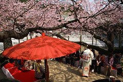 NODATE tea ceremony (tomosang R32m) Tags: japan umbrella shrine tea ceremony  cherryblossom sakura kimono fukuoka   nodate    fukuma   miyaji    tsuyazaki miyajidake bangasa fukutsu     cerasuscerasoides