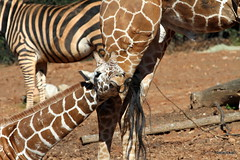 Lily flosses with Dad tail (beachkat1) Tags: animal zoo lily giraffe zooatlanta