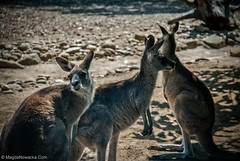 Australia (schelly_m) Tags: travel blue mountains beach rock pine forest landscapes alice manly great sydney parrot australia melbourne brisbane springs kangaroo koala lone emu barrier uluru cairns reef ayers katatjuta magda olgas sanctuary wombat twelve apostles nowacka dandegong
