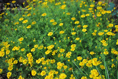 ... (nodie26) Tags: light flower color beautiful yellow tour feel taiwan   hualien cosmos  perennial      coreopsis   calliopsis