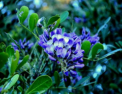 Texas mountain laurel (elnina999) Tags: street family flowers red plants mountain southwest floral colors cemetery yellow closeup architecture petals texas desert native tx indian citylife churches oldbuildings blanket heads shops bloom xeriscape antiques wildflowers roadside laurel boerne blooming texashillcountry showy historicalhouses bloomingflower closeupflower churchinteriors prairieflowers germansettlers ludwigboerne strategictransportation germanculturaltradition