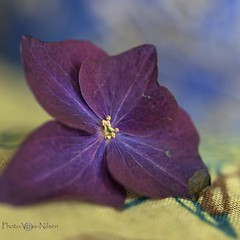 Hortensia (Voss-Nilsen) Tags: flowers blue plants plant flower macro green nature closeup digital canon plante square botanical photography eos photo flickr foto purple natur 5d hydrangea planter makro blomst squared macroshot blomster lilla hortensia bl grnn naturbilder nrbilde botanisk grnt naturen macroshots bltt digitalt makrofoto naturfoto naturbilde digitalfoto makrobilder makrobilde nrbilder kvadratisk botanikk naturfotografi vossnilsen