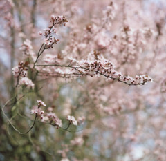 yesterday (after october) Tags: pink flowers blue tree film oregon portland spring blossoms plum instant pacificnorthest plumblossoms hasselblad500cm polaroidback fujifp100c