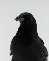 Crow_44397.jpg (Mully410 * Images) Tags: winter snow bird birds birding crow birdwatching birder americancrow burdr
