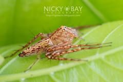 Lynx Spider (Hamataliwa sp.) - DSC_9100 (nickybay) Tags: macro spider singapore lynx oxyopidae upperpeircereservoir hamataliwa