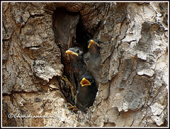 2953 - waiting.... (chandrasekaran a 40 lakhs views Thanks to all) Tags: trees india nature canon nest chicks chennai commonmyna powershotsx40hs