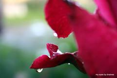 324 depois da chuva (tinalves My Eyes) Tags: chuva rosas tinalves