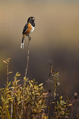 Eastern Towhee singing in the burn zone (ChristinaLEvans) Tags: color vertical singing florida burn alleni easterntowhee pipiloerythrophthalmus whiteeyed kpp kissimmeeprairie