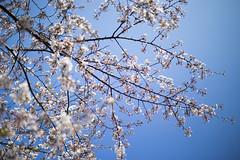 Cherry Blossom (Noah.Fang) Tags: flower canon 50mm shanghai cherryblossom  f12 6d