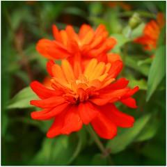 Orange Flowers (Read2me) Tags: she orange flower green dof bokeh duele cye gamewinner thechallengefactory pregamesweepwinner