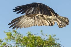 Up and Over (daveinhst) Tags: blue bird beach florida flight cypress vero osprey specanimal specanimalphotooftheday 033113