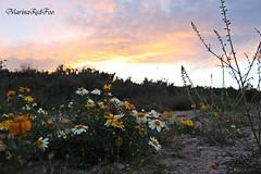 Atardecer primaveral (Marina RedFoo) Tags: flores primavera canon atardecer murcia margaritas