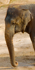 Asiatic Elephant WLD_5237 (guppiecat) Tags: elephasmaximus asiaticelephant