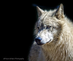 WHICH WILL WIN? (Aspenbreeze) Tags: nature animal wolf wildanimal lupin wolves cannine wildnature aspenbreeze moonandbackphotography bestevergoldenartists bevzuerlein