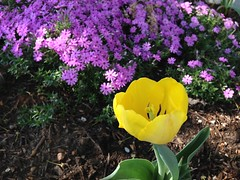 Tulip and Phlox (welovethedark) Tags: tulip phlox iphone iphonecamera