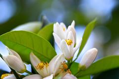Ι wish you could smell them .... (Simos1968) Tags: flower blossom orangetree