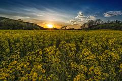 Sunset in Spring (CARLORICCI) Tags: sunset italy sun primavera yellow clouds spring nikon italia tramonto nuvole giallo carlo sole viterbo lazio d800 ronciglione colza copyright 14mm nikkor1424mmf28 carloricci riccarlo carl rememberthatmomentlevel1 ocarlo