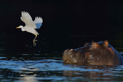 The Bold and the Beautiful (Duncan Blackburn) Tags: bird nature nikon wildlife hippo hippopotamus botswana chobe kasane cattleegret coth supershot specanimal abigfave mygearandme sunrays5 vigilantphotographersunite vpu2 vpu3