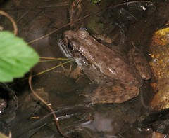 Lithobates clamitans (Bronze Frog) (Turtlerangler) Tags: louisiana frog tammany nwr lithobates bigbranchmarshnwr