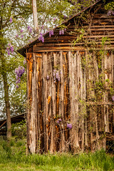 sprung (Soggy6) Tags: barn spring purple northcarolina wisteria oldbarn greengrass wakecounty deteriorating