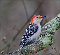 Red-bellied Woodpecker  17 (Diane G. Zooms) Tags: nature birds woodpecker ngc npc redbelliedwoodpecker wildbirds supershot specanimal avianexcellence 10nw photographyforrecreation 5wonderwall sunrays5