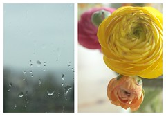 109/365 outside rain, inside shine (SarahLaBu) Tags: flowers orange window rain yellow diptych ranunculus 365 day109 day109365 3652013 2013yip 365the2013edition 19apr13