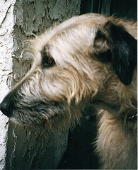 Rocky Head Shot (Lynda IW) Tags: wolfhound