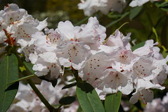 Rhododendron principis Vellereum Group (c.young) Tags: china macro botanical nt group rhododendron species ericaceae nationaltrust spe xizang nymans principis thenationaltrust nymansgarden nationaltrustnymans rhododendronprincipisvellereumgroup rhododendronprincipis vellereumgroup vellereum