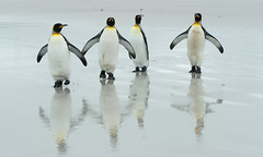 King Penguins (Michael Leggero) Tags: ocean sea bird southamerica nature animal animals landscape penguin three michael king wildlife antarctica trio emperor falklandislands leggero