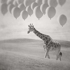 She is the quintessential optimist (Janine Graf) Tags: bw balloons surrealism surreal surrealist giraffe optimist juxtaposer tiltshiftgen janine1968 scratchcam janinegraf iwonderifeddieredmayneisaglasshalffullkindofguy