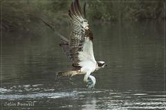 Osprey Fishing (colbuscolbus) Tags: birds water fish ospreys flyingbirds