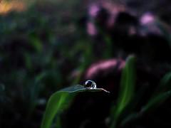 #rugiada #natura #macro (iliturner) Tags: natura rugiada macro