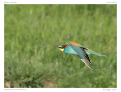 Gupier d'europe | European Bee-eater | Merops apiaster (BerColly) Tags: france bird google flickr flight vol oiseau auvergne meropsapiaster europeanbeeeater puydedome gupierdeurope bercolly