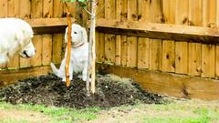 Charlie and Purdy (Mark Rainbird) Tags: uk england dog canon puppy unitedkingdom retriever charlie powershots100 popeswood