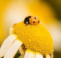 Lady bird or lady bug 🐞🐞 (Rupinder Khural) Tags: portrait england kewgardens flower macro cute london nature kew insect community nikon flickr innocent richmond surrey explore ladybird ladybug botanicgardens macrophotography 500px nikond300s