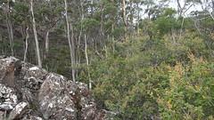 Pomaderris aspera (Rotuli) Tags: pomaderrisaspera rhamnaceae flatrockreserve tasmania australia hazel pomaderristasmanian land conservancy